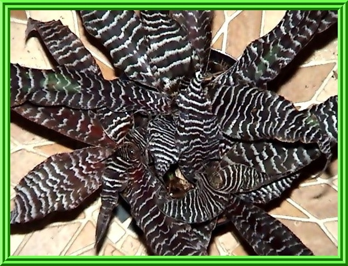 Cryptanthus Black Mystic Cryptanthus 39 Black Mystic 39