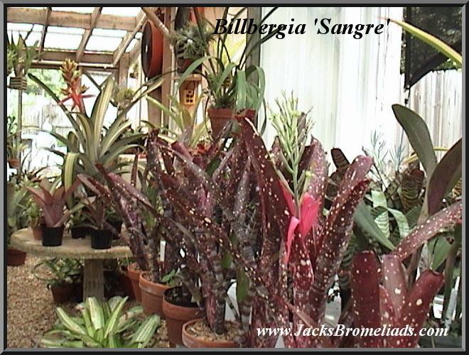Billbergia 'Sangre' $20.00 (Cultivar)