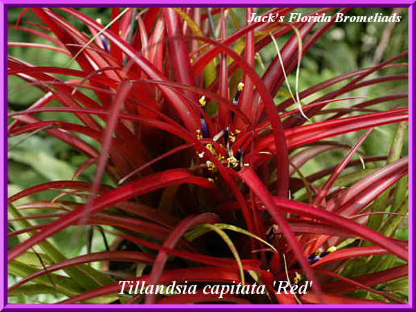 Tillandsia capitata 'Red' $7.50