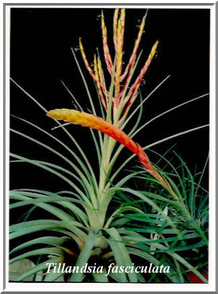 Tillandsia fasciculata $15.00